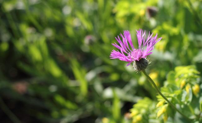 Persian Cornflower Pictures
