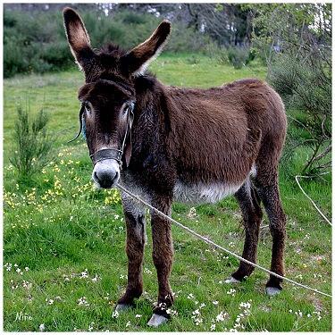 New York Times compara portugueses ao burro mirandês