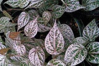 ... sirih merah, berikut ini beberapa resep daun sirih merah sebagai obat
