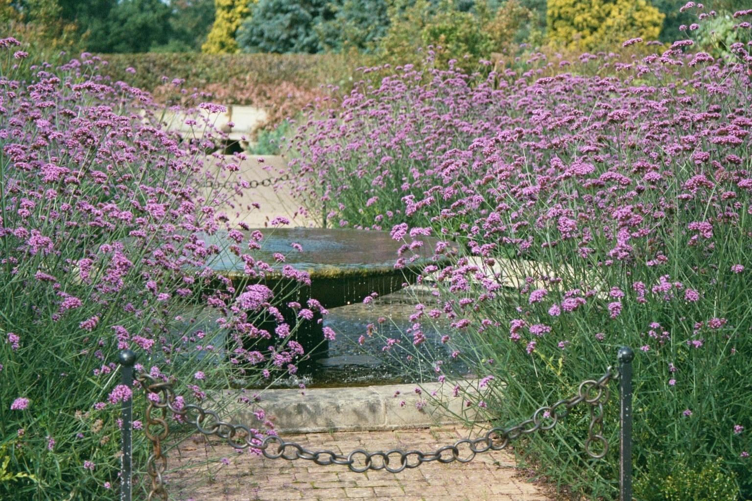 Verbena bonariensis the garden of eaden - Verbena pianta ...
