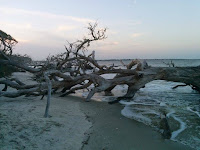 An oak tree, stripped of leaves and bark, laying on its side in the tide.