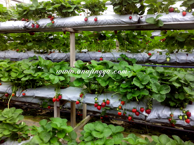 ladang strawberri genting highland