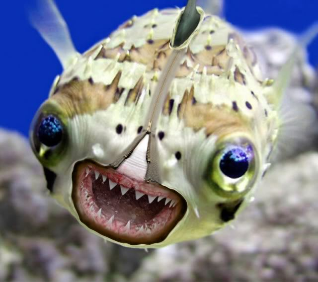 Sanbiki restaurant blog strange but true for Puffer fish images