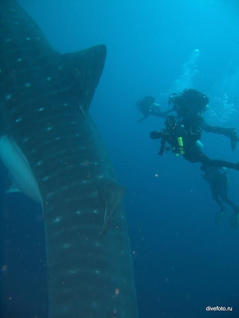 Китовая акула и дайверы фото