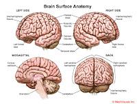 Brain Anatomy3