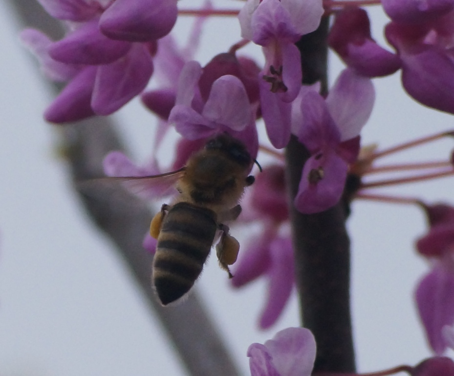 bees, spring, pollen, flower, tree,