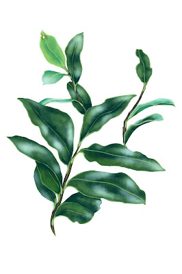 scientific illustration plants