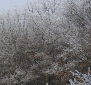 photo of winter woods with oak leaves