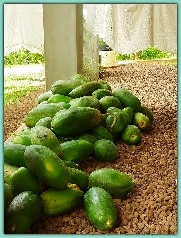 Papaya Pile