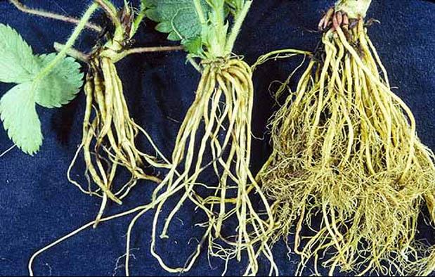 jenis akar lembaga yang tumbuh dari radikula biji 17 Contoh Tumbuhan Berakar Serabut dan Penjelasannya
