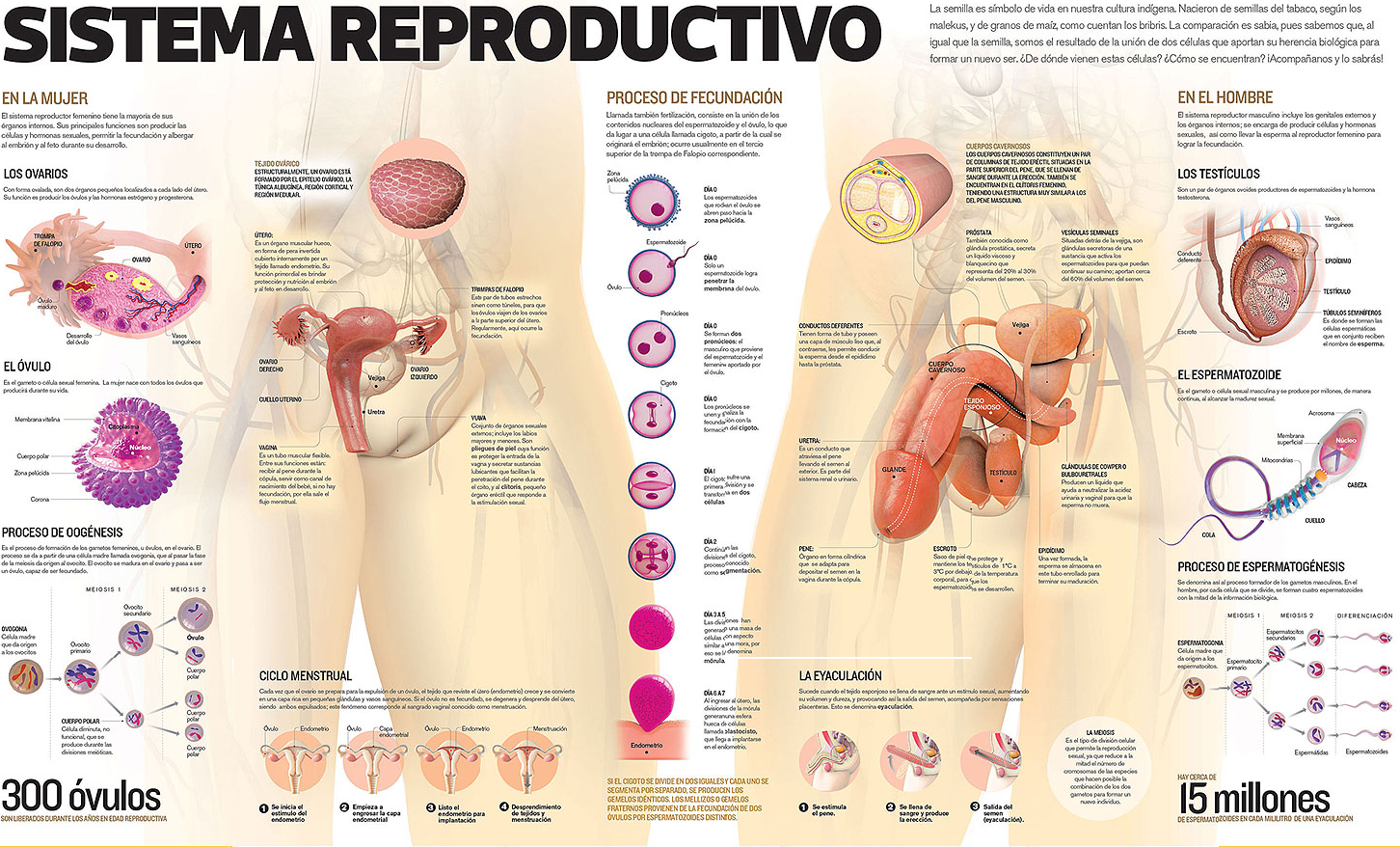 Morfofisiologia3c: APARATO REPRODUCTOR MASCULINO