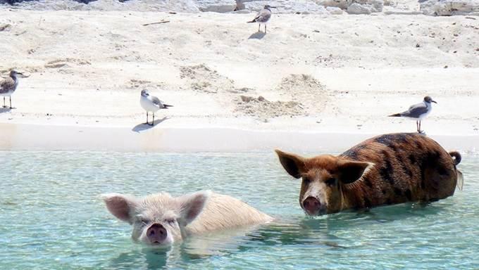 dua ekor babi di tepi pantai