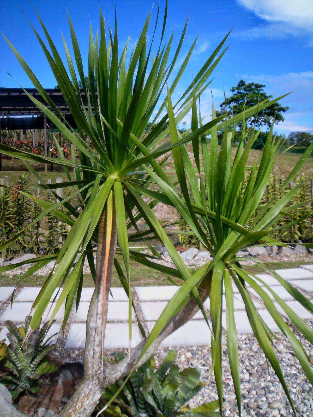 By All The Plants - Yucca aloifolia