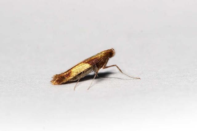 Caloptilia robustella