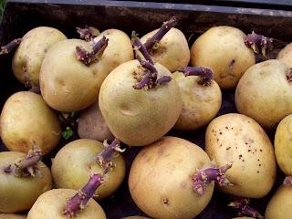 http://1.bp.blogspot.com/-SxszPvrjJl4/UXQaWL3-lTI/AAAAAAAAED4/RcmNBbeLsDg/s1600/potatoes-chitted.jpg