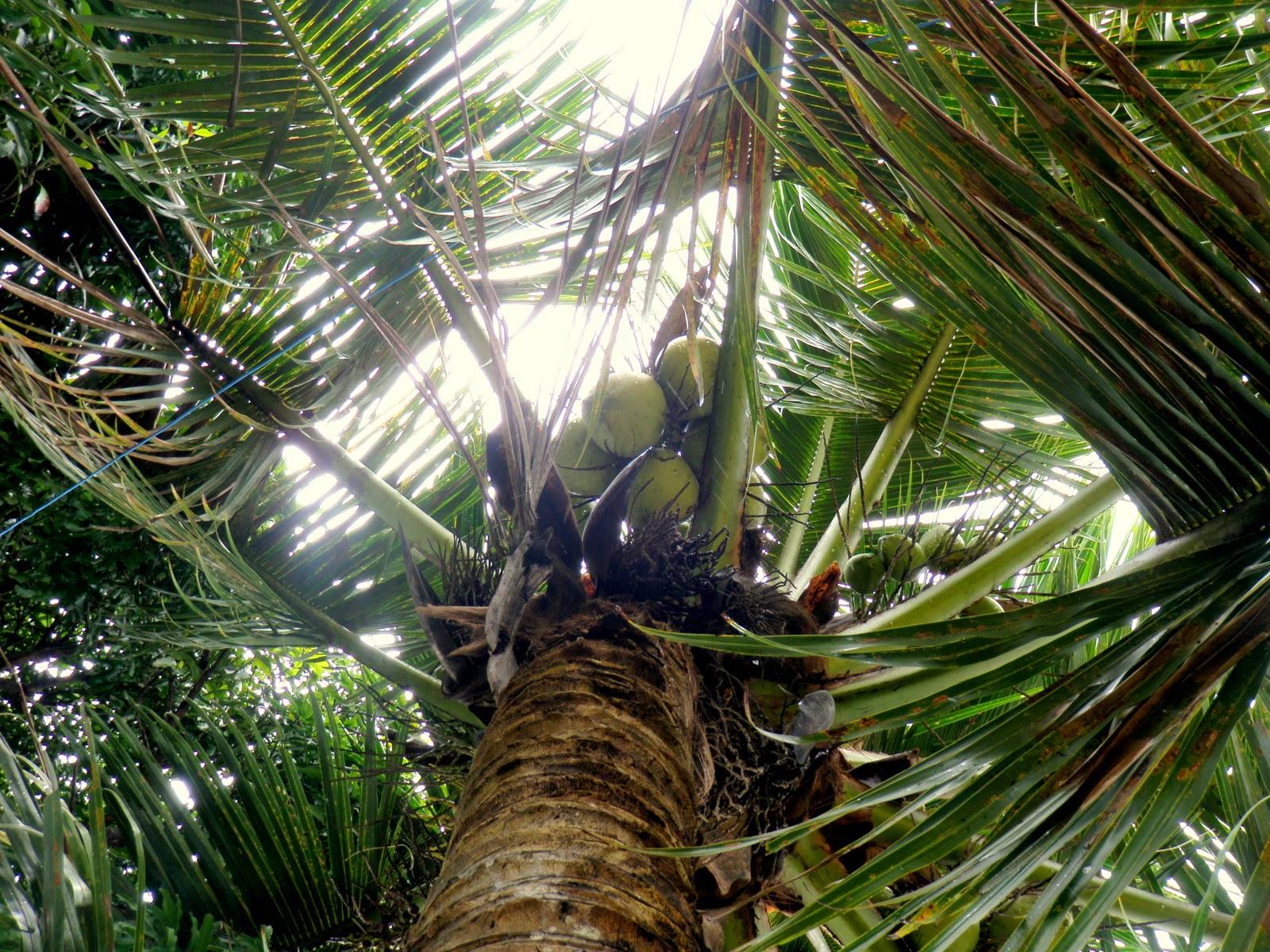 coconut tree climbing machine pdf