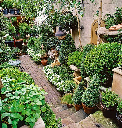 plant boxwood in pots 3