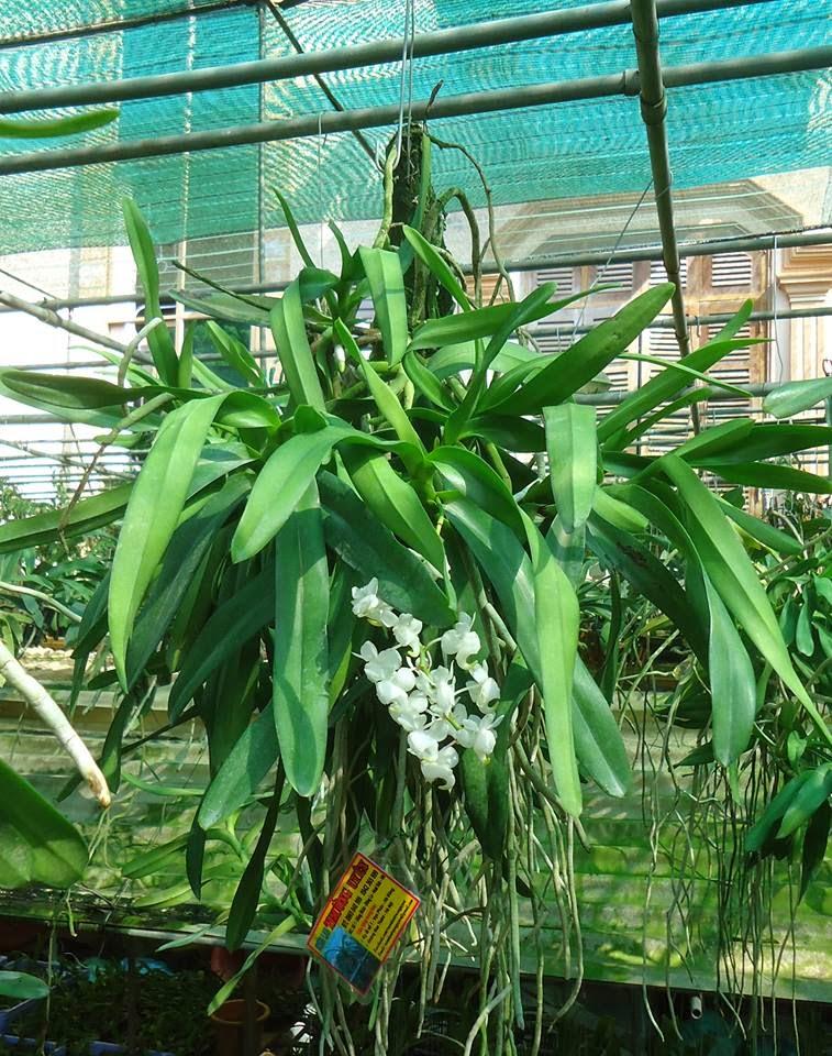hoa phong lan bach nhan trang 1