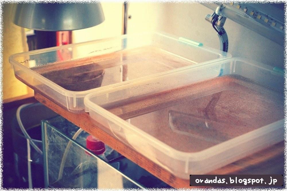 ブラインシュリンプ皿式でお皿二枚で孵化している画像です。