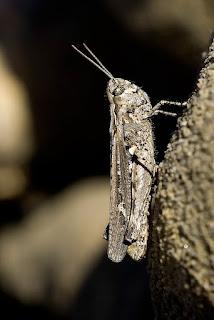 Para ampliar Omocestus raymondi (Saltamontes) hacer clic