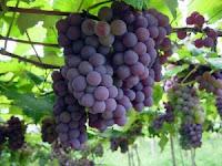67- Hurma ağaçlarının meyvelerinden ve üzümlerden hem içki, hem de güzel bir rızık edinirsiniz. Elbette bunda aklını kullanan bir toplum için bir ibret vardır.