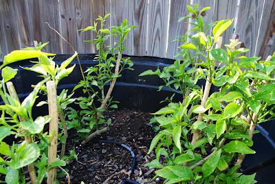 Serrano Pepper plants at Alejandro Farm