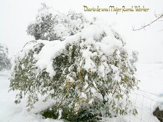 Mimosa nevada