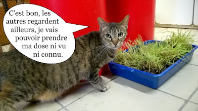 Chatte grise méfiante devant herbe à chat.