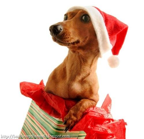 Funny Christmas dog.