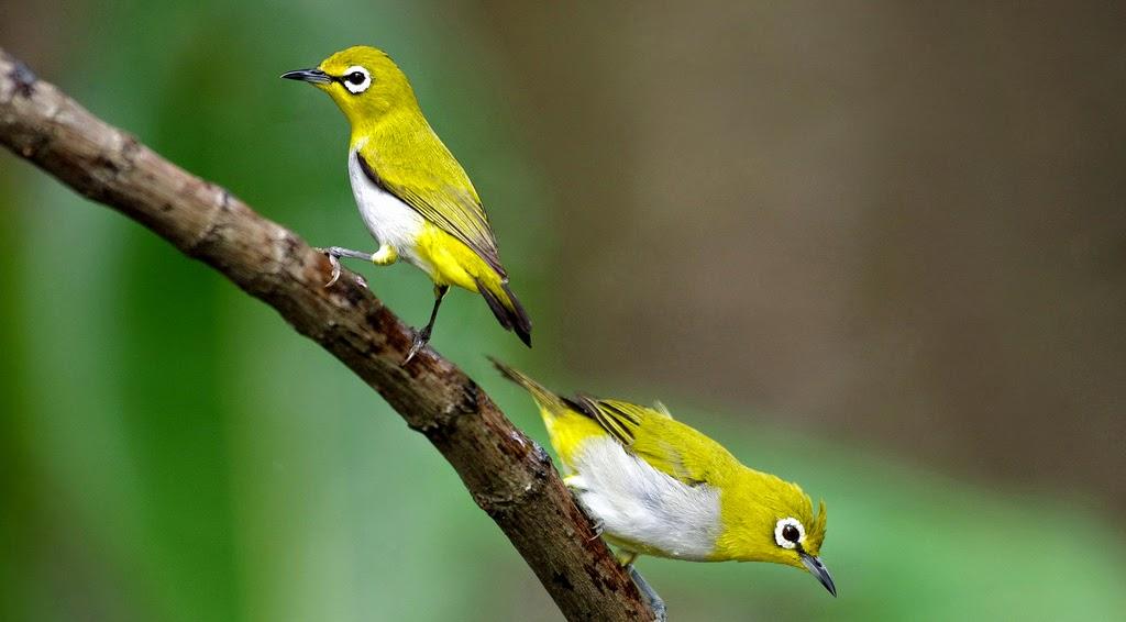 Foto Burung Pleci Harga Murah Terbaru di Bogor Jakarta