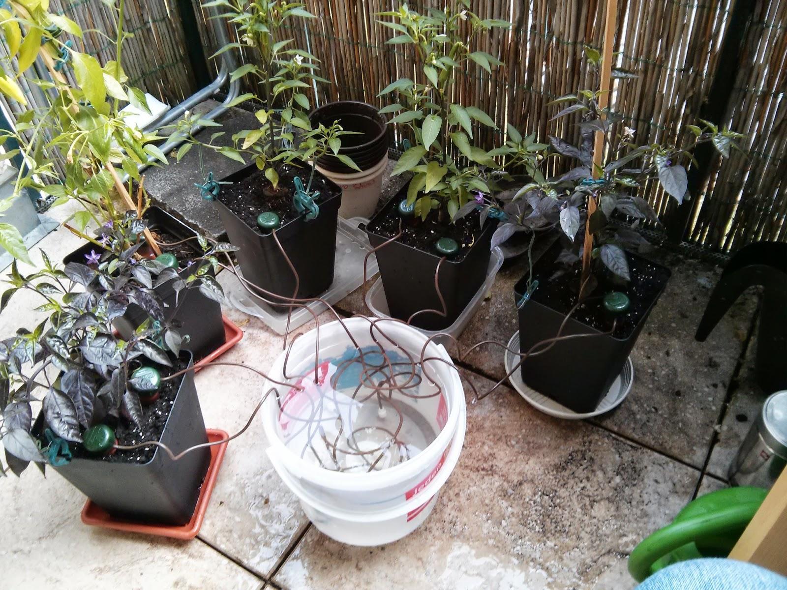 Chili farmer chili pflanzen automatisch bew ssern for Chillies pflanzen