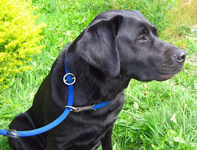 https://commons.wikimedia.org/wiki/File:Labrador_mit_angelegter_Retrieverleine.jpg#/media/File:Labrador_mit_angelegter_Retrieverleine.jpg