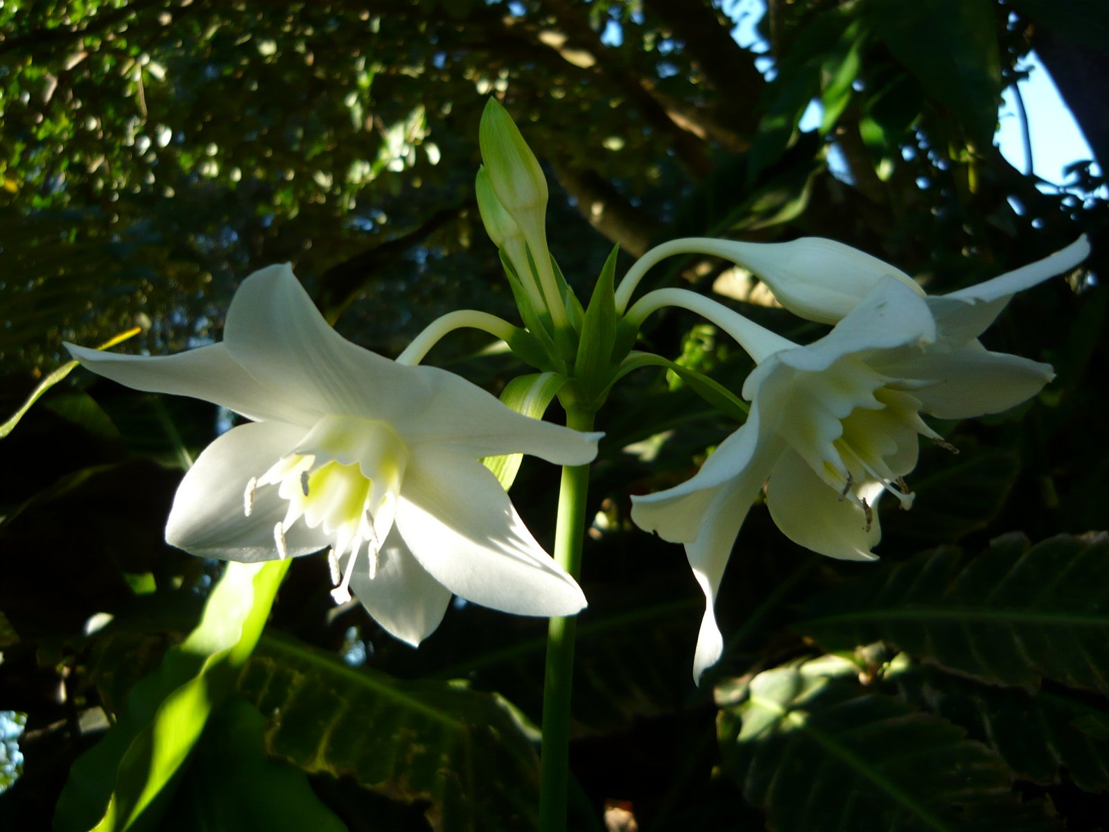 Embroideroo winter garden walk over in the tropical garden a eucharist lily has popped up to surprise me the flowers look like white daffodils dont you think izmirmasajfo