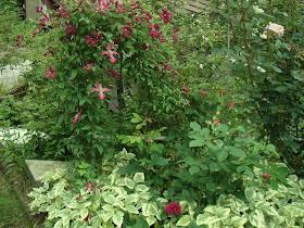 山の家のクレマチスとバラ