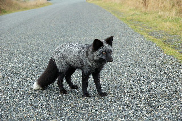 Silver fox kit - photo#7