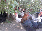 Some of my chickens