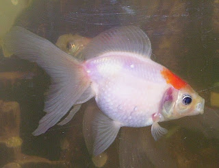 White Pearlscale Goldfish