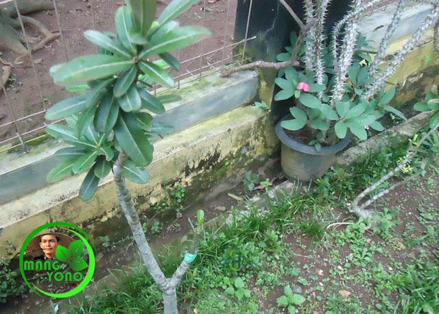 FOTO : Pada awal penyambungan bunga kamboja Jepang