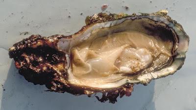Plásticos no oceano estão prejudicando a reprodução das ostras
