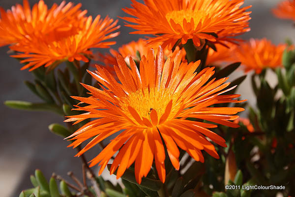 Orange ice plant Lampranthus aureus flowers