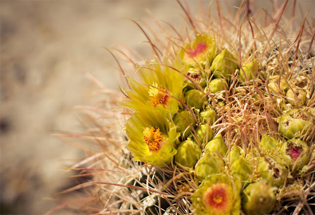 Beautiful Cactus Flowers7