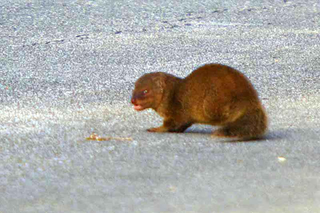 mongoose, growling