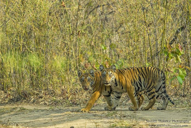 The cubs on the road.A rare classic pose.: Photo Mr Saurabh.Thakekar