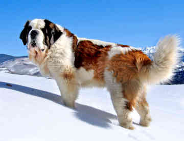 Saint Bernard Pictures