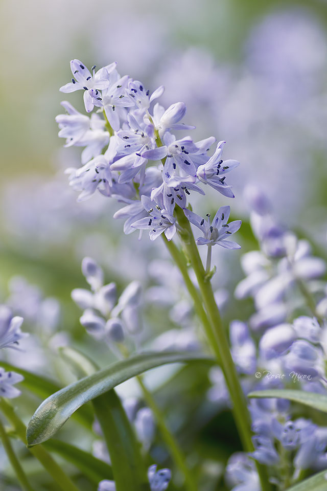 while clumps of hazy blue scilla flowers grow under the shrubs in some parts of the garden.