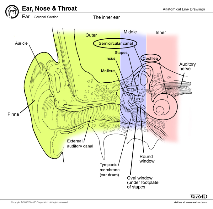 The Anatomy Of The Ear Blogger Uni Doctors