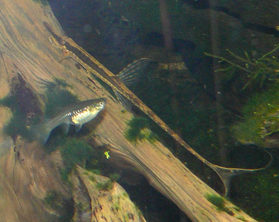 Fish Pictures: Twig catfish - Farlowella