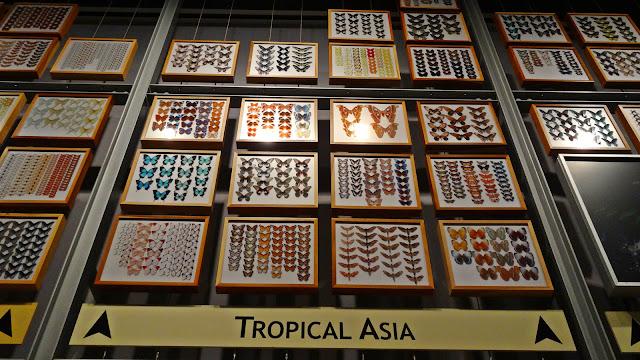 Schmetterlinge Sammlung Asien