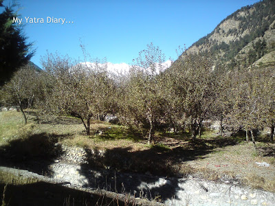 Apple orchards, Harsil in Himalayas