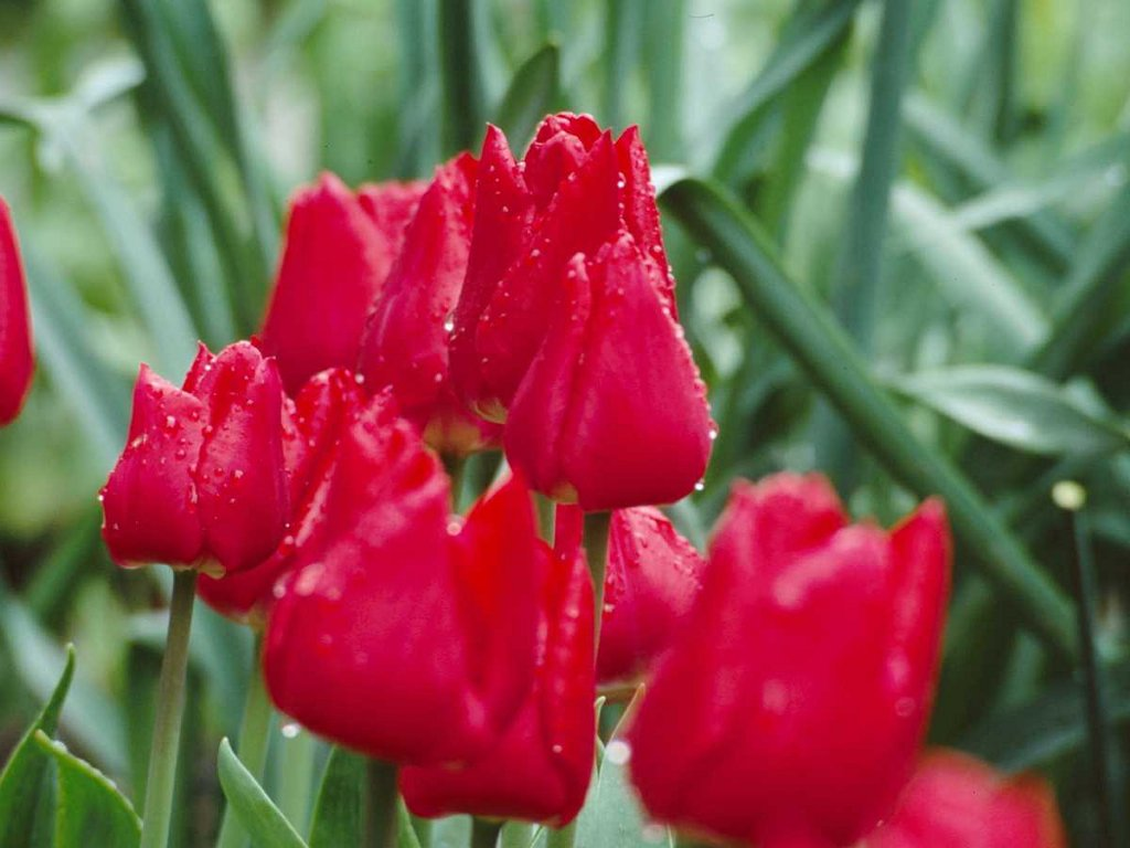 http://1.bp.blogspot.com/-T1_yyTlTdoE/ThFevbc8JBI/AAAAAAAABIg/3KajaMg6i5M/s1600/Red-Flowers-Wallpaper1.jpg